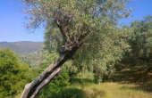 390, A plot by the sea: centenary olive trees and a beautiful view